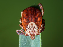 Tick On A Field Plant