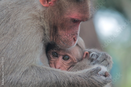 Fényképezés baby and mother bonnet macaque (macaca radiata) in bandipur national park ,karna