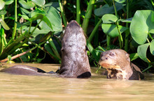 Giant River Otters With Heads ...
