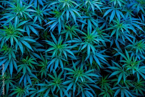 Photo Blue cannabis strains background marijuana Blue Dream