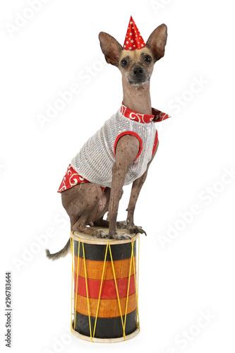 Keuken foto achterwand Crazy dog Xoloitzcuintle dog sitting on the drum