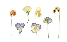 Pressed And Dried Meadow Flowe...