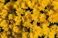 Bright Yellow Autumn Chrysanth...
