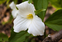 White Flower Trillium In The Garden