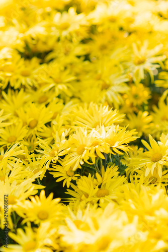 Fototapety, obrazy: Bright yellow beautiful chrysanthemum flowers in the garden