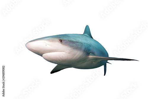 Shark isolated on white background . Tableau sur Toile