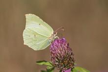 Common Brimstone Butterfly (Go...