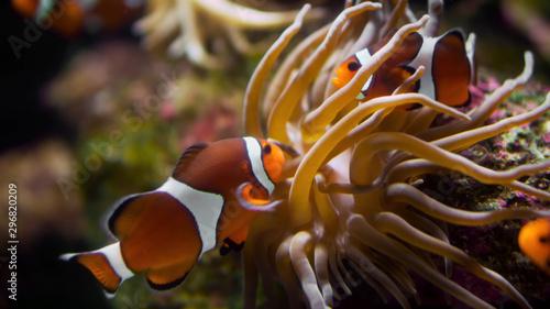 Fotografie, Obraz tropical fish in aquarium