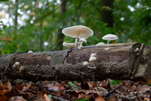 Porcelain Mushroom Slimy Wood-rot Fungus And Is Strongly Tied To Rotting Beech, Where It Grows In Clusters
