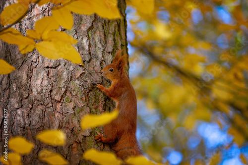 Obraz Cute squirrel in a natural park in warm morning light - fototapety do salonu