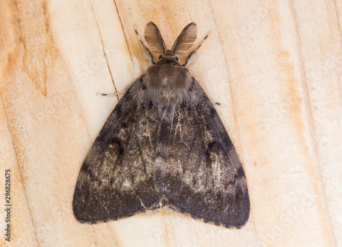 Fotografie, Tablou Male gypsy moth butterfly (Lymantria dispar) top view, close-up