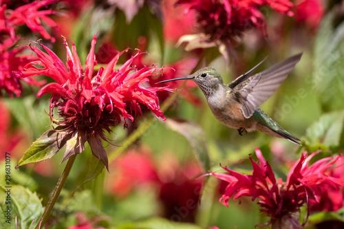 Fotografia, Obraz hummingbird on flower