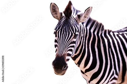 Poster Zebra Close up of a zebra on a white background
