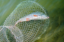 Fish Caught In The Guard Housed In The Danube Water