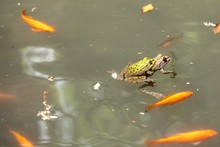 Two Frogs Mating In The Green ...