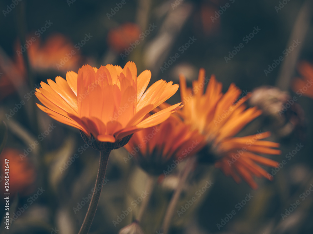 Fototapety, obrazy: Beautiful fairy dreamy magic orange flower on blurry background. Dark art moody floral. Macro view of calendula