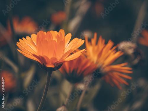 Obraz Beautiful fairy dreamy magic orange flower on blurry background. Dark art moody floral. Macro view of calendula - fototapety do salonu