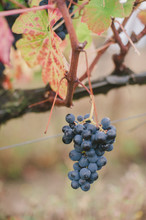 Close Up Of Red Grape Bunch In Vineyard, Portugal