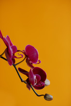 Purple Orchid On Yellow Backgr...