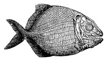 Fish Fossil, Vintage Illustration.
