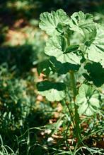 Flowerless Geranium Growing On Earth