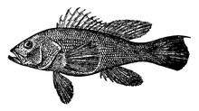 Black Sea Bass Vintage Illustr...
