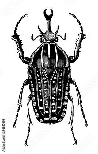 Fotografie, Tablou  Goliathus Polyphemus vintage illustration.