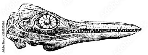 Obraz na plátně  Ichthyosaurus Skull, vintage illustration.