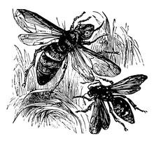 Wasp And Hornet Vintage Illust...