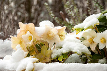 Snow-covered Helleborus Niger ...