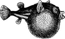 Blowfish Vintage Illustration.
