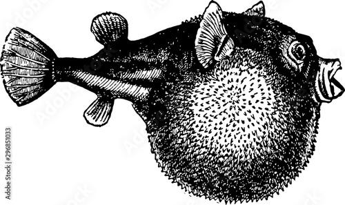 Photo Blowfish vintage illustration.