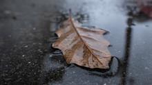 Fallen Brown Oak Leaf Lying In...