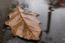 Fallen Leaf Lying In A Puddle ...