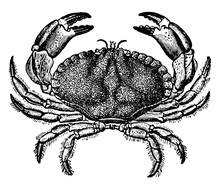 Dungeness Crab, Vintage Illust...