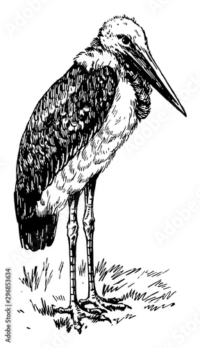 Greater adjutant or Ciconiidae vintage engraving. Canvas Print