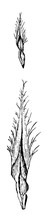 Longleaf Pine Pinus Palustris Mill.. Two To Thirds Natural Size. Primary Leaf Bracts Magnified Vintage Illustration.