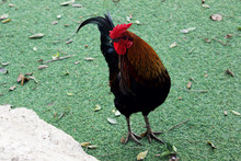 A Rooster In A Safari Park In ...