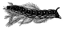 Larva Of Deilephila Euphorbiae...