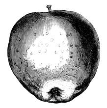 Westfield Seek-No-Further Apple Vintage Illustration.