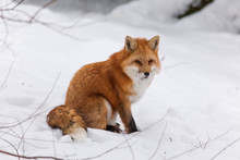 A Red Fox In Winter