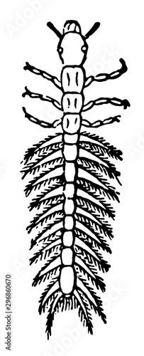 Larva of Gyrinus Natator vintage illustration. Fototapeta