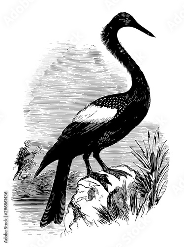 Anhinga the snakebird American darter vintage engraving. Canvas Print