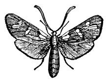 Six Spot Burnet Moth Vintage Illustration.