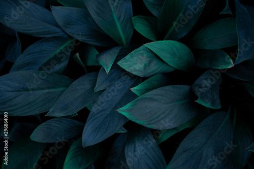 Fototapeta closeup nature view of green leaf in garden, dark wallpaper concept, nature background, tropical leaf obraz