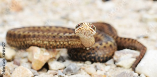 Common European Adder ( Vipera berus ) looking at camera Canvas Print