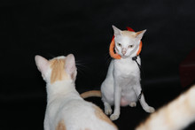 White Cat With Orange And Black Color Of Halloween Hat On Dark Background.