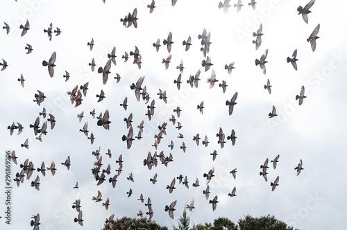 Pigeon birds, Columbus - flock of birds flying Canvas-taulu