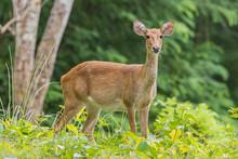 Deer In The Rainy Season Look ...