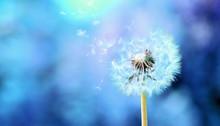 Dandelion In The Blue Blurred ...
